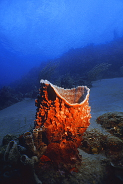 Close-up of a Netted Barrel Sponge (Verongula Gigantea) underwater, Saint Kitts