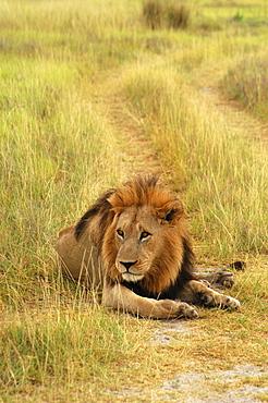 Lion (Panthera leo) sitting in a path, Okavango Delta, Botswana