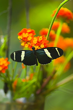 Close-up of a Doris butterfly (Heliconius Doris) pollinating flowers