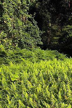 Ferns in a forest, Akaka Falls State Park, Hilo, Big Island, Hawaii Islands, USA