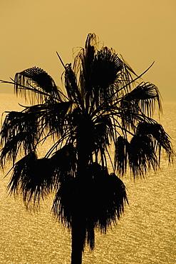 Silhouette of a tree, Italian Riviera, Liguria, Italy
