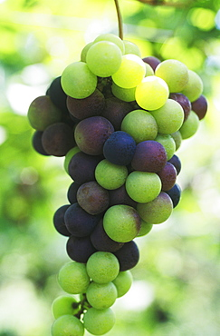 Close-up of grapes, Bali, Indonesia