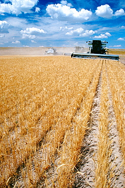 Custom harvest combines harvest wheat with clear blue sky in the background near Cheyenne, WY