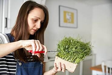Woman harvesting microgreen pea seedlings using scissors