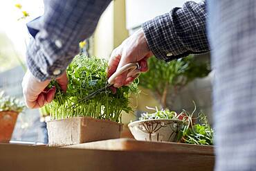 Harvesting microgreens using scissors at home for salad