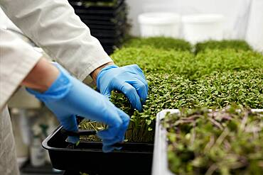 Gloved hands using scissors to harvest microgreens in urban farm