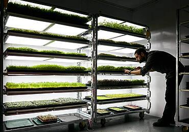 Man tending trays of microgreens seedlings growing in urban farm