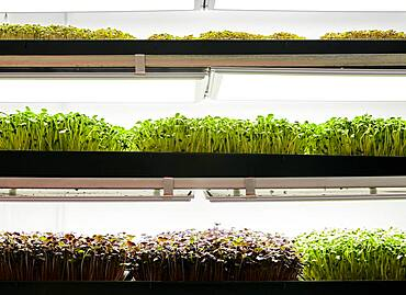 Trays of microgreen seedlings growing in urban farm