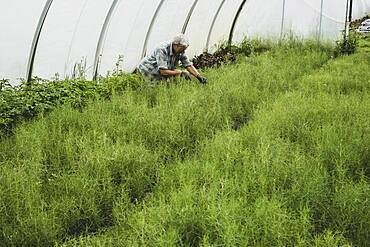 Woman kneeling in a poly tunnel, harvesting fresh herbs.