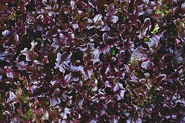 High angle close up of purple collard greens.
