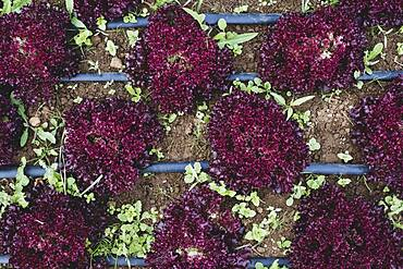 High angle close up of rows of red leaf lettuce in a field.