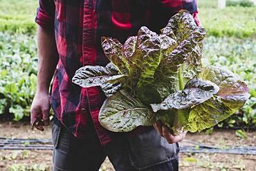 Farmer in a field, holding freshly picked purple leaf lettuce.