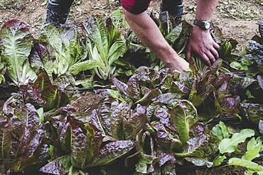 Man standing in a field, harvesting purple leaf lettuce.
