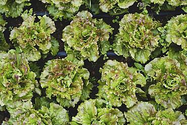 High angle close up of green lettuce.