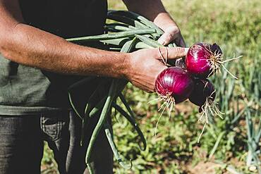 Farmer standing in a field holding freshly picked red onions.