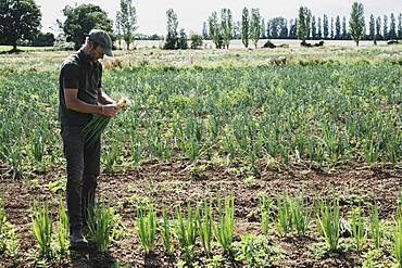 Farmer standing in a field harvesting spring onions.
