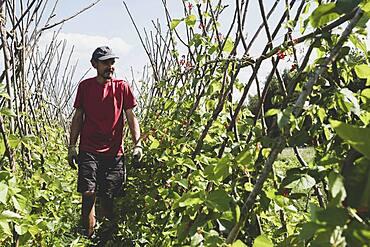 Farmer walking along rows of runner beans.