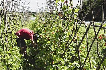 Farmer harvesting runner beans.