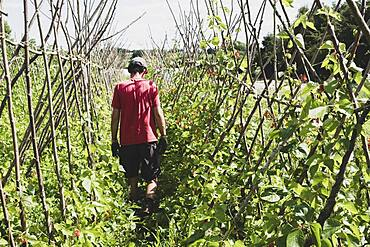 Rear view of farmer walking along rows of runner beans.
