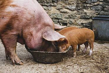 Pigs, Tamworth sow and two piglets feeding from a bowl.