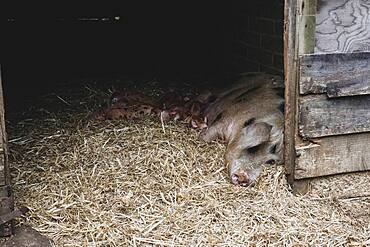 Gloucester Old Spot sow and piglets lying on straw in a sty.