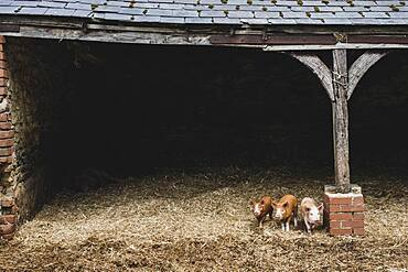 Three red piglets standing on straw in a pig sty.