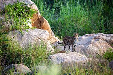 A leopard, Panthera pardus, walks across some boulders in a riverbed, Sabi Sands, South Africa