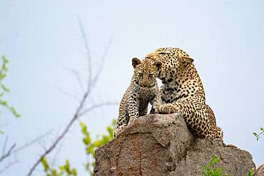 A leopard and her cub, Panthera pardus, lying on a rock, Sabi Sands, South Africa