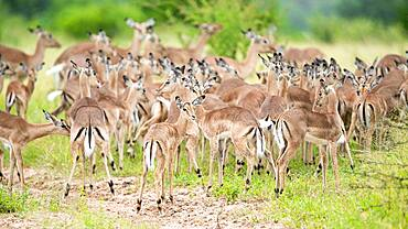 A herd of impala, Aepyceros melampus, against a green background, Sabi Sands, South Africa