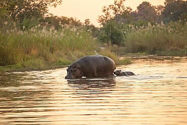 A hippo and calf, Hippopotamus amphibius, walk through a river at sunset, Sabi Sands, South Africa