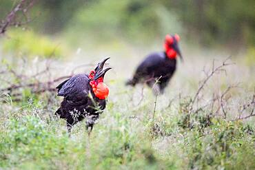 A southern ground hornbill, Bucorvus leadbeateri, pecking in grass, Sabi Sands, South Africa