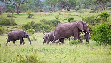 A herd of elephant, Loxodontaᅠafricana, and a lion, Panthera leo, Sabi Sands, South Africa
