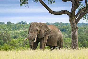 An elephant, Loxodontaᅠafricana, walks through long grass, big tusks, Sabi Sands, South Africa