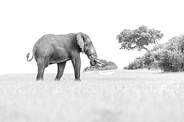 An elephant, Loxodontaᅠafricana in a clearing, trunk curled, Sabi Sands, South Africa