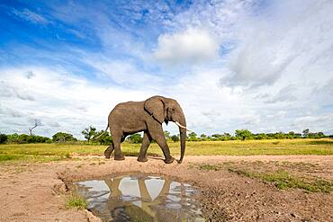 An elephant bull, Loxodontaᅠafricana, reflection in a puddle, Sabi Sands, South Africa