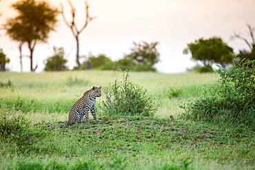A young leopard, Panthera pardus, sits on a mound in a clearing at sunset, Sabi Sands, South Africa