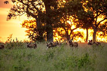 A pack of wild dogs, Lycaon pictus, walk through grass during sunset, Sabi Sands, South Africa