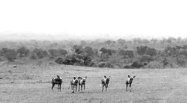 A pack of wild dogs, Lycaon pictus, stand in a clearing, in black and white, Sabi Sands, South Africa