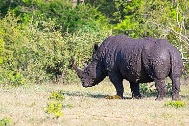 A white rhino, Ceratotherium simum, coated in mud after mud bath, Sabi Sands, South Africa