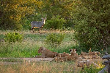 A pride of lions, Panthera leo, watching a waterbuck, Kobus ellipsiprymnus, Sabi Sands, South Africa