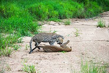 A pair of leopards, Panthera pardus, have a fight in a riverbed after mating, Sabi Sands, South Africa