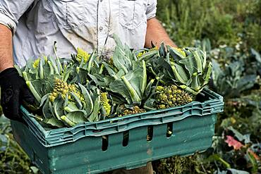 Close up of farmer with crate of Romanesco cauliflowers.