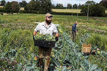 Farmer with crate with freshly picked Romanesco cauliflowers.