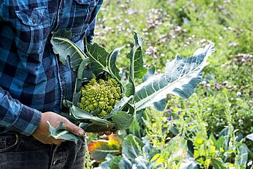 Farmer in a field with freshly picked Romanesco cauliflower.
