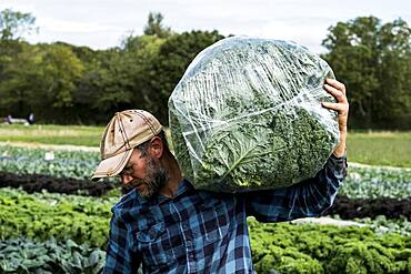 Farmer walking in a field with a bag of curly kale.