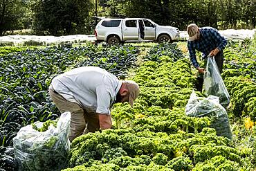 Two farmers standing in a field, picking curly kale.