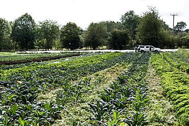 View across rows of green vegetables on a farm.