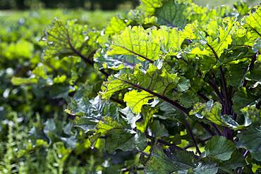 Close up of purple kale leaves.