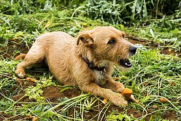 Cute dog lying in a field, eating carrot.