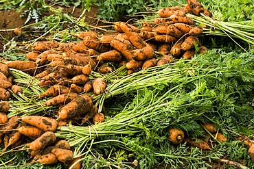 Close up of bunches of freshly picked carrots.